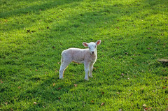 its that time of year again (Ron Layters) Tags: england green grass geotagged spring derbyshire peakdistrict ears slide newborn transparency lamb fujichrome provia edale peakdistrictnationalpark springlamb pentaz ronlayters slidefilmthenscanned mz10 pentazmz10 geo:lat=5336983415981073 geo:lon=1803891249822155