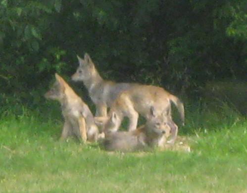 VHT Coyotes