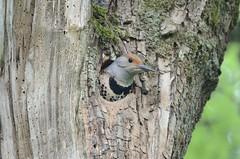 Northern Flicker (Colaptes auratus) D7K_5709 (NDomer73) Tags: 21june2011 june 2011 redshaftednorthernflicker northernflicker flicker woodpecker bird ridgefieldnwr ridgefield ridgefieldnationalwildliferefuge