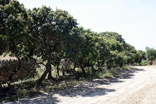 Masticha trees