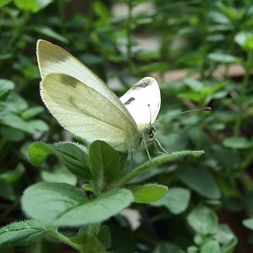 la farfalla che si mette in posa