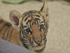Orion Bengal Tiger IMG_9373b (blackhawk32) Tags: cub tiger bengal baby tiger orion
