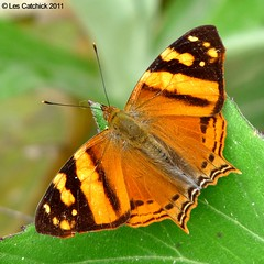 Butterfly (Hypanartia lethe jatuntinagua, Common name: Orange mapwing) (LPJC) Tags: butterfly ecuador thebridge mapwing lpjc hypanartialethejatuntinagua riojautuntinagua