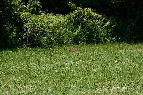 Glover Woodchuck (Marmota monax)-3.jpg