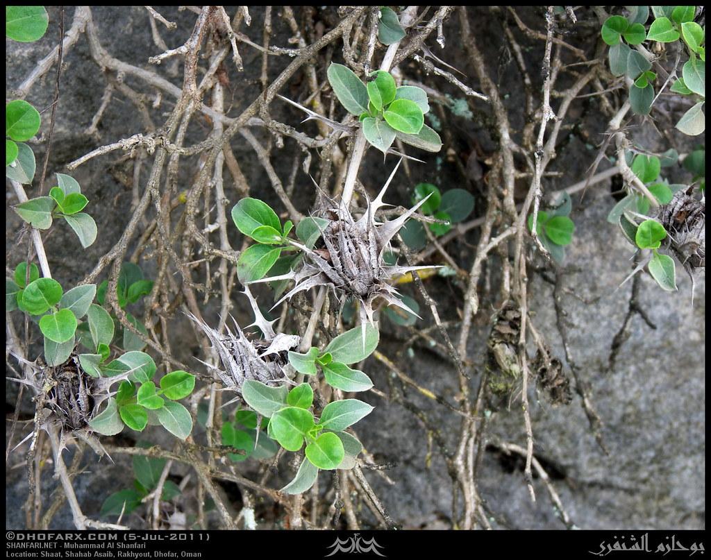 ساجر ظفار، بتاريخ 5-7-2011 5908055513_e13ce50ff