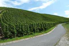 Vineyards along the Moselle