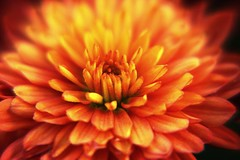 Fire (micaelabee) Tags: red orange flower macro fall up yellow close pollen