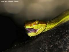 Pit Viper, Buxa Tiger Reserve, West Bengal, India (Subhash Chanda) Tags: snakesofindia indiansnakes snakesofwestbengal subhashchanda snakesofnortheastindia snakesofbuxatigerreserve