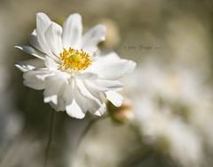 The Stand Out (dog ma) Tags: dog white flower macro nature up ma nikon close bokeh anemone excellence 105mm d700 thepinnaclehof tphofweek122