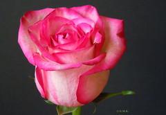 Rose_2 (Gina M.K.) Tags: rose natureselegantshots october2011 andromeda50 mamasbloomers naturescarousel theoriginalgoldseal flickrsportal nikoncoolpixs8000 photospourtousphotosforall rosesforeveryone gerlintsroses