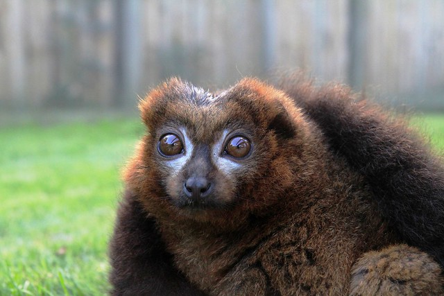 Red Bellied Lemur