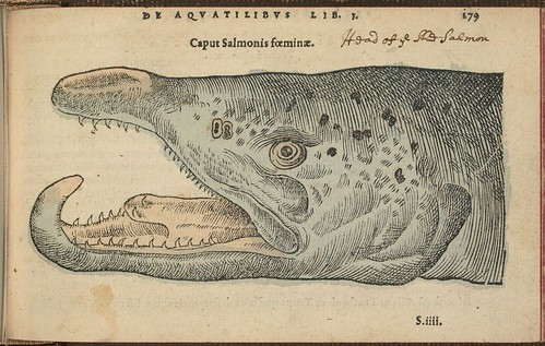 Caput Salmonis foeminae