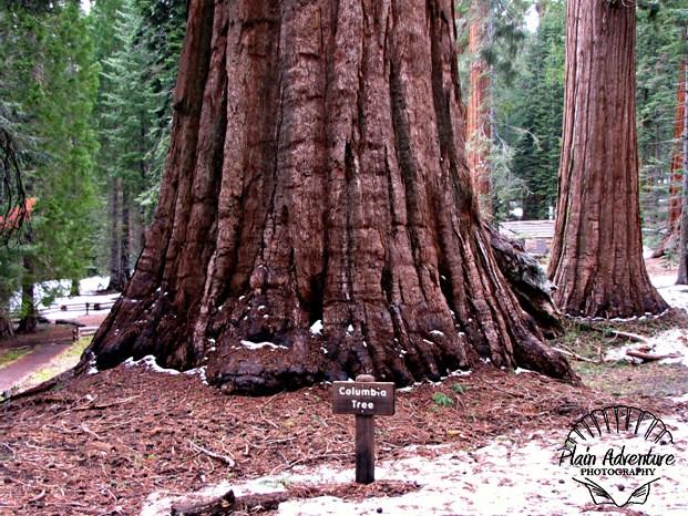 Columbia Tree