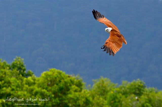 Red-backed Sea-eagle (Haliastur indus)