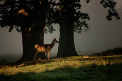 Deer (Chris McLoughlin) Tags: morning sunlight mist nature fog sony deer a580 sigma150500mm chrismcloughlin sonya580