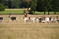 What a wonderful moment ! (Tao Meng) Tags: park morning animal sex richmond deer mating richmondpark