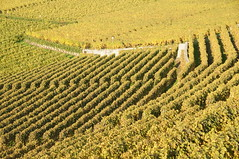 Vineyards (Jungle_Boy) Tags: travel autumn fall yellow switzerland suisse wine walk terraces hike vineyards grapes vignoble chemin worldheritage lakegeneva wineries lacleman vaud lavaux 2011 suisseromande terrasses