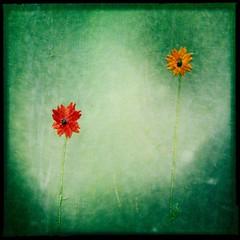 Garden Dandy (Baky) Tags: flowers orange flower color green art love yellow japan leaf petals arty artistic patterns jesus fake petal iphone barky  barkyvision