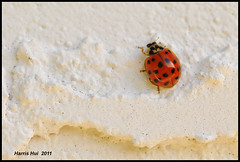 Occupy The Wall (Street)! - Ladybug N7764e (Harris Hui (in search of light)) Tags: pink autumn red white canada macro fall closeup vancouver bug insect big backyard nikon bc richmond tiny ladybug thewall clever macrophotography d300 mylady thesystem occupy socialmovement socialunrest nikonuser pinkonwhite nikon105mmmacro nikond300 changethesystem harrishui vancouverdslrshooter occupywallstreet 99vs1 occupythewall invadethehome voiceofgrassroots thetinybutpowerful99 thebiganddominating1 tinyvsbig mypinklady cleverphotographerorcleverbug