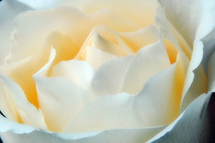 The Rose... (jendayee) Tags: white france flower nature rose niceshot shiningstar photographyrocks natureplus creativephotographer flickraward flowersarebeautiful excellentflowers foliagedetail digitaleloquence wonderfulworldofflowers exquisiteflowers universeofflowers addictedtonature unforgettableflowers universeofnature dblringexcellence
