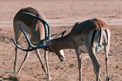 El club de la lucha (belthelem) Tags: africa animal nikon kenya grant wildlife safari gazelle samburu kenia gamedrive gacela abana herbívoro d300s