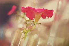 67/365 pink (Pavla Hajek) Tags: pink flower glass bokeh 365