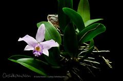 Cattleya Dahlenburg Mini