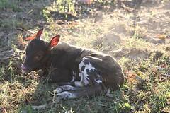 Surprise !!!!!!!!!!!. (rlbarn) Tags: cow calf watusi