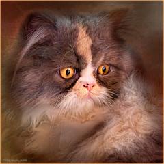 1064 Persian cat (QuimG) Tags: naturaleza pets nature cat canon geotagged golden natura textures gato macros gat persiancat specialtouch quimg joaquimgranell mygearandme afcastell obresdart gettyimagesiberiaq2 quimgranerll