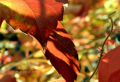 Colorful Fall // Renkli Gz (anemon :)) Tags: autumn fall leaves leaf colorful sonbahar yaprak renkli gz