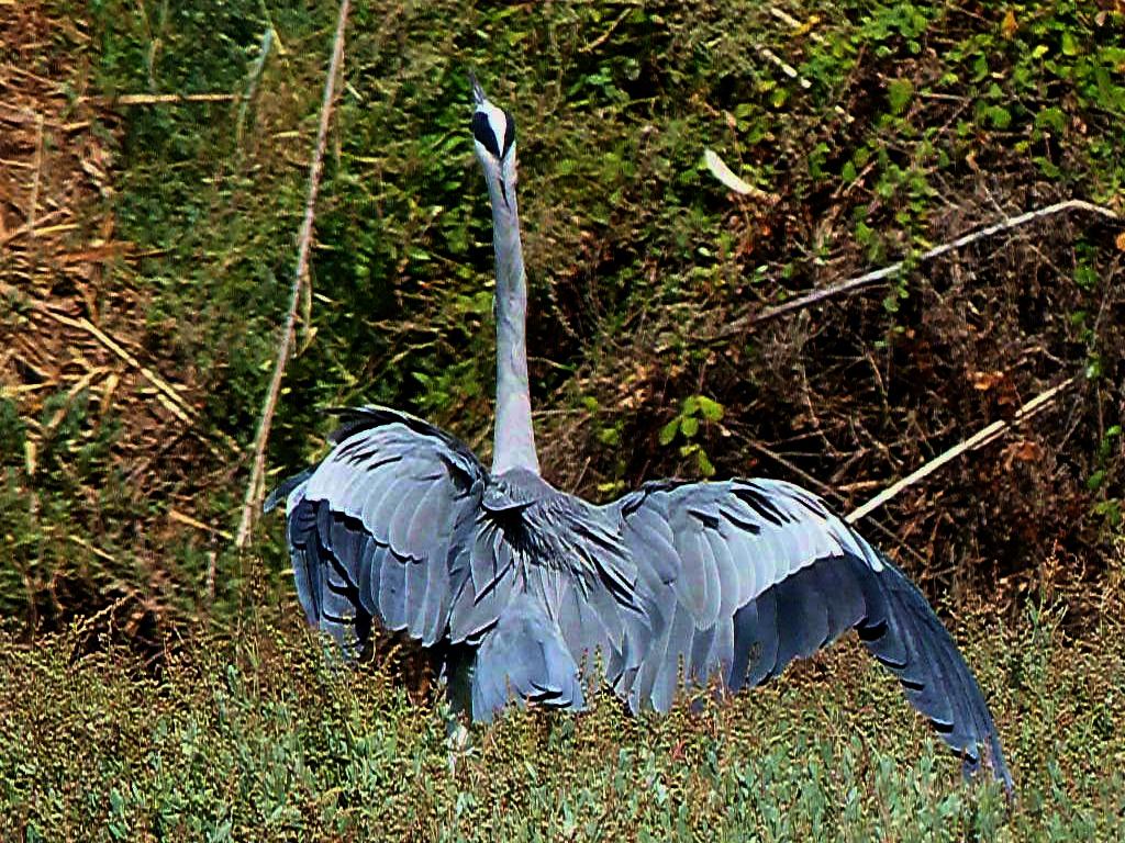 03-11-2011-grey-heron-again3