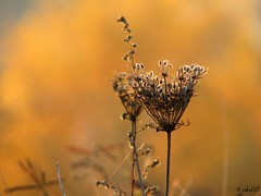 """A weed is no more than a flower in disguise"" (ewka2205) Tags: autumn sunset meadow jesie zachdsoca ka ewka2205"