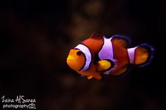 Nemo (Zaina Al-Sanea) Tags: life sea orange fish aquarium underwater nemo center kuwait fishy zaina alsane scientfic alsanea