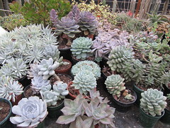 Echeverias and Dudleya (wallygrom) Tags: cactus england cacti westsussex succulents echeveria graptopetalum dudleya angmering pachyphytum graptoveria cactuscollection manornursery manornurseries