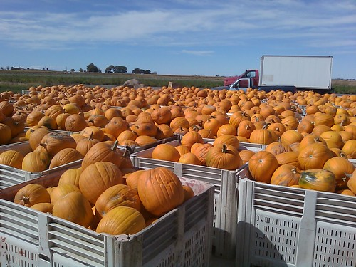 Chuck Hanagan has worked for USDA-Farm Service Agency for 25 years and operates a family farm in Swink, Colorado. Having an abundance of fresh vegetables has given his office the opportunity to participate in gleaning efforts for the Department's 'Share Your Harvest' campaign. 4,000 lbs was donated by Hanagan Farms. The pumpkins pictured are in bins awaiting shipment.  Many of them ended up with the families of deployed troops on the Army base at Fort Carson.