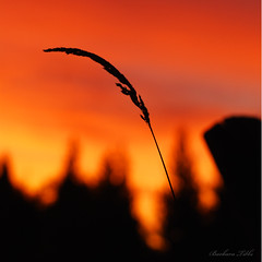 "Every blade of grass . . . "" (misst.shs) Tags: morning grass silhouette sunrise backyard nikon bokeh idaho sandpoint bladeofgrass colburn hbw bokehlicious bokehland beyondbokeh blinkagain grasstassel"