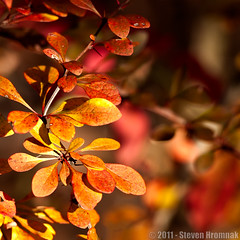 Transition of Color - Berberis Bush (GAPHIKER) Tags: red orange color fall newjersey bokeh barberry berberis