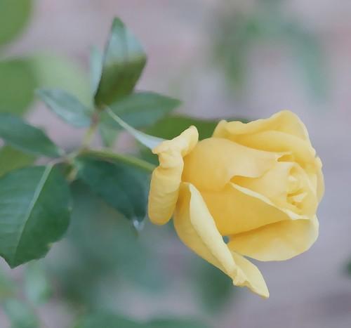 Rosa amarilla de otoño en Madrid by Carola (Soñando cambios)