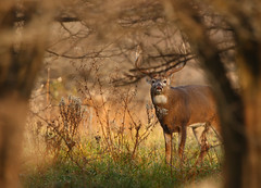 Window of Opportunity (Hannibals Animals) Tags: deer buck bigbuck windowofopportunity whitetailrut