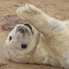 Howdy.... Long time no seal! (Fishfingers & Custard) Tags: uk cute beach smile eyes sony wave lincolnshire whiskers seal pup alpha flipper placenta alphamale puppydogs donnanook allrightsreserved fishfingerscustard a300700 allrightsreservedworldwidepleasedonotuseanyofmyimageswithoutaskingformypermission langugo nabbedyourinfobillybob