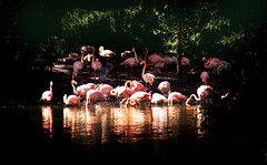 Flaming Flamingoes (briandillon1946) Tags: birds animals flamingoe