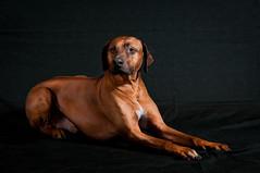 _DSC5511.jpg (Johan Pehrson) Tags: dog dogs hund modell johanpehrson hundfoto hundfotografering