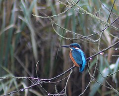 Kingfisher at Lackford Lake 19-11-2011 (Karen Roe) Tags: camera uk greatbritain november blue autumn england orange lake cold bird digital canon photography photo droplets suffolk europe branch village image bokeh small beak picture photograph dew kingfisher dslr common spotting alcedoatthis 2011 lackford 550d lackfordlake karenroe suffolkwildlifetrust canoneos550d