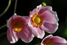 sun please! (glennisb) Tags: pink flower nature yellow closeup japanese wind blossom awsome anemone anther
