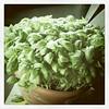 Epic basil plant