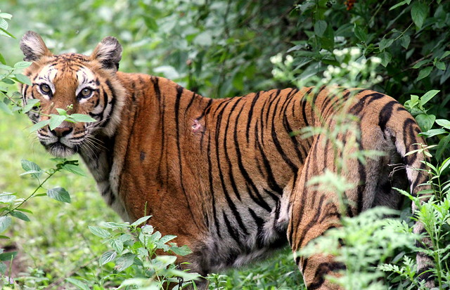 Tiger Injured by a Deer / Sambar horn