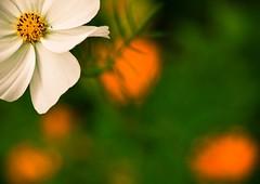 (303/365) (pinterpi) Tags: white flower yellow zeiss canon project eos day dof bokeh days 365 manualfocus virág 135mm sonnar sárga fehér 450d pinterpi