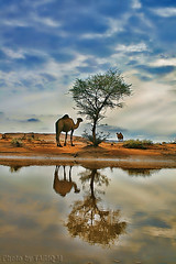 Reflection of Camel (TARIQ-M) Tags: sky cloud reflection tree art texture water landscape sand waves desert dunes camel camels riyadh saudiarabia hdr   canonefs1855            canon400d            mygearandme blinkagain  bestofblinkwinners