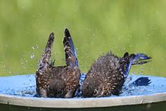Bath Time - Baby Bluebirds (Steve Byland) Tags: baby bird nature canon 7d bluebird eastern sialis sialia