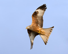 Pose (Andrew H Wildlife Images) Tags: bird nature wales redkite canon7d ajh2008